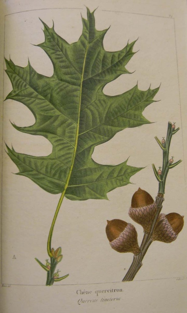 Foliage and branch from the black oak tree or quercus tinctoria, which yields the yellow quercitron dye. François André Michaux, 1841–1849, The North American sylva; or, A description of the forest trees of the United States, Canada, and Nova Scotia… Winterthur Library