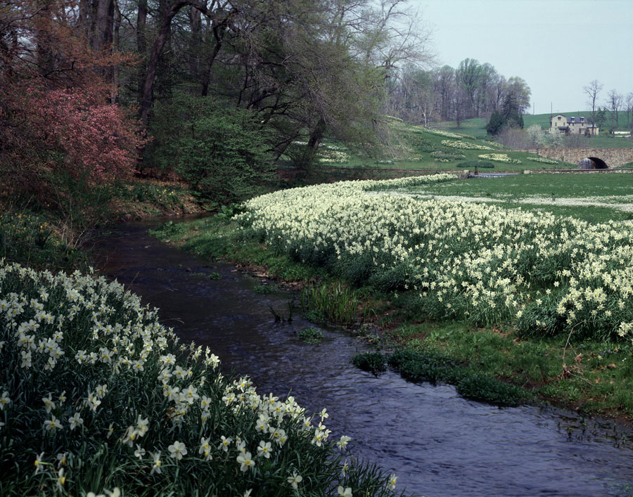 Daffodils along Clenny Run. Photo by Gottlieb Hampfler